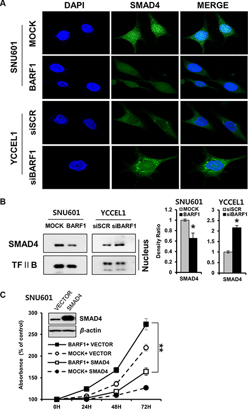 BARF1-mediated down regulation of nuclear SMAD4, and the effect of SMAD4 on cell proliferation.