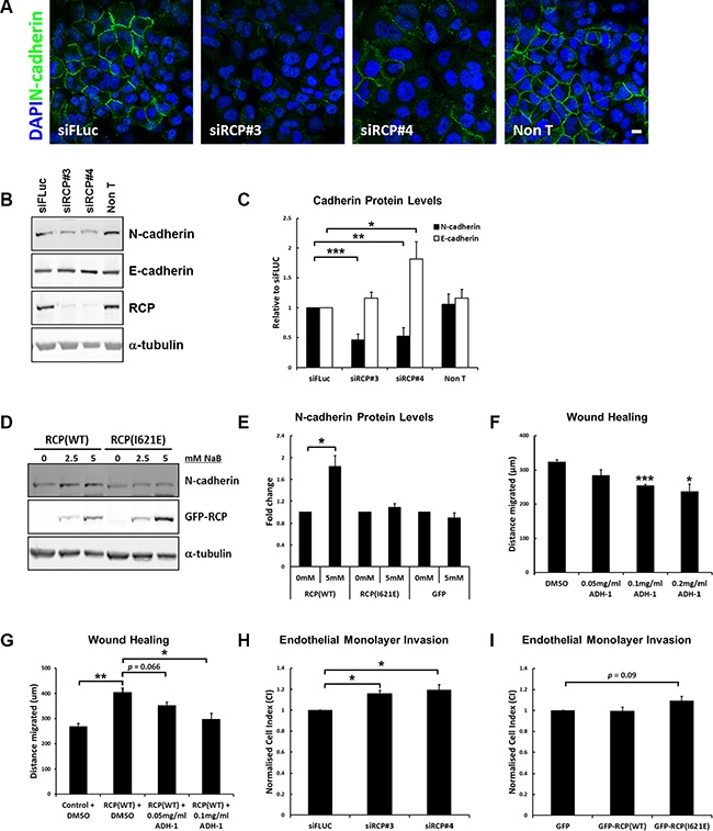 RCP regulates cadherin protein levels.