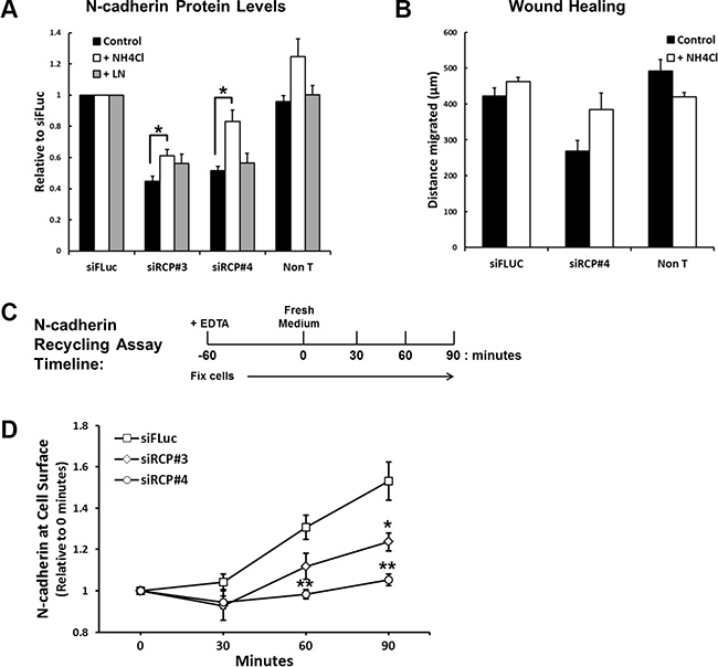 RCP regulates the recycling of endocytosed N-cadherin back to the plasma membrane.
