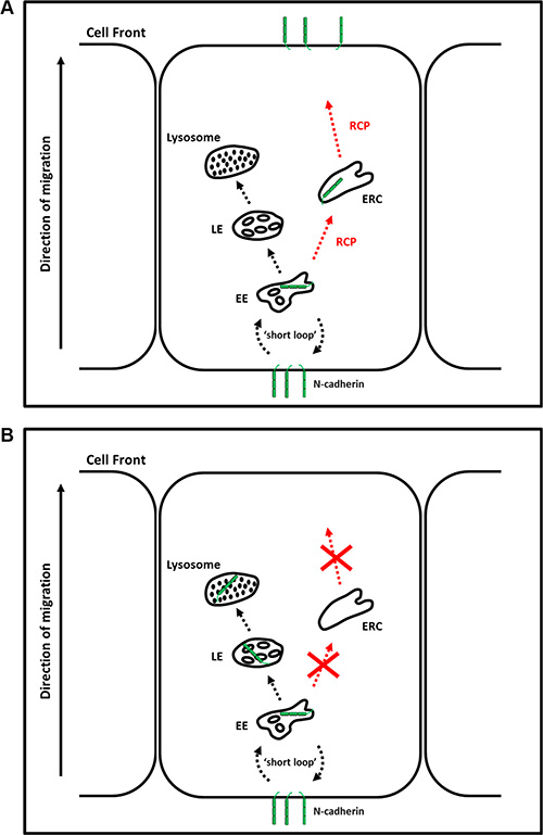 RCP regulates the endosomal recycling of N-cadherin.