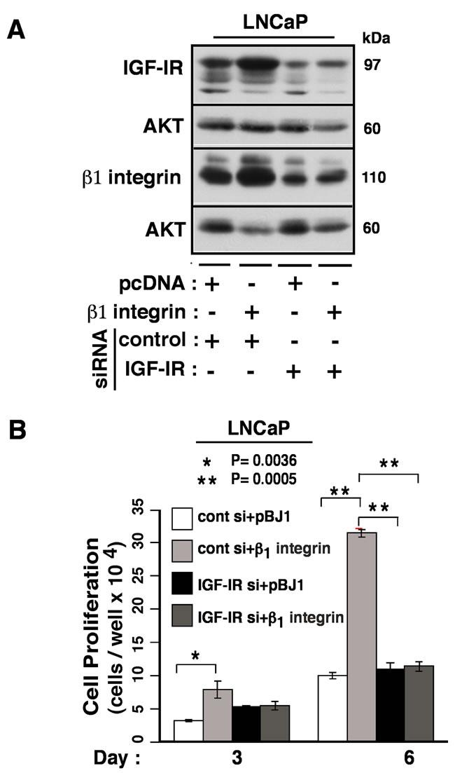 β1 integrins promote cancer cell proliferation by regulating the expression of IGF-IR.