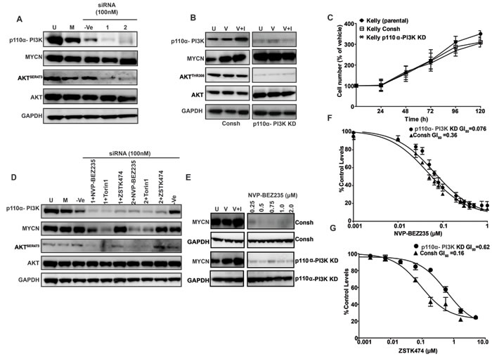 Role of the p110α-PI3K complex in MYCN stabilization.