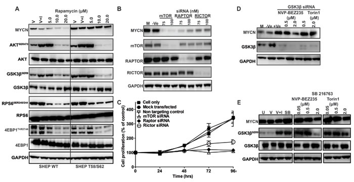 Role of mTOR and GSK3β in MYCN stabilization.
