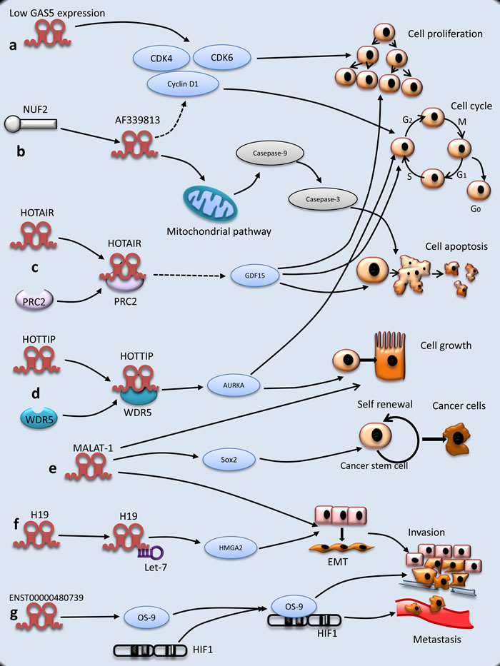 Molecular mechanisms of lncRNAs underlying PC tumorigenesis.