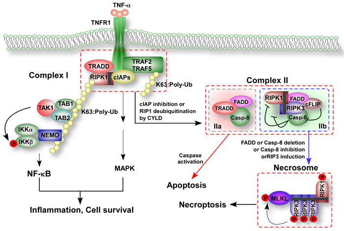 TNF-induced formation of apoptotic and necroptotic signaling complexes.
