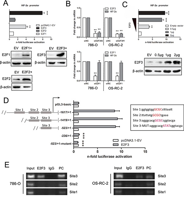Luciferase and ChIP-PCR assay demonstrate the binding of E2F3 to the HIF-2α promoter in ccRCC cells.
