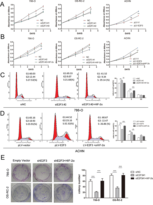 E2F3 facilitated cell proliferation and clonogenic survival through HIF-2α activation.