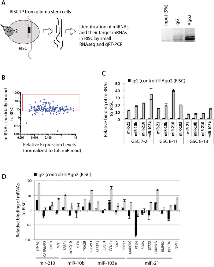 Identification of functional miRNAs and their target mRNAs in RISC in GSCs.