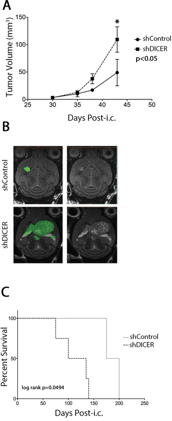 Effect of DICER1 knockdown on tumors generated from GSC 7-2 cells in mice.