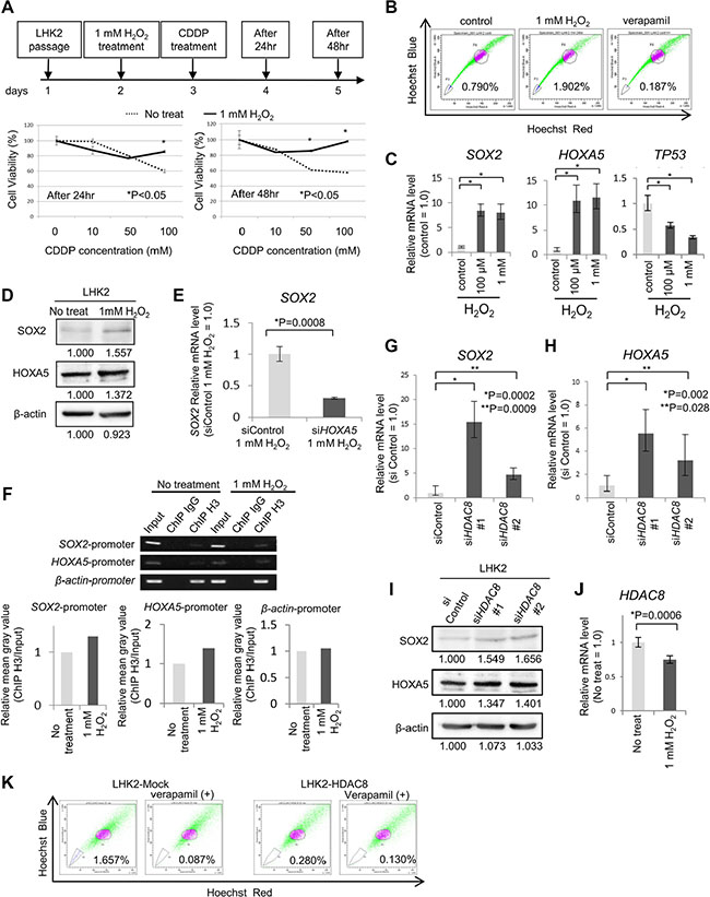 Repression of HDAC8 by oxidative stress may be related to acquisition of stemness.
