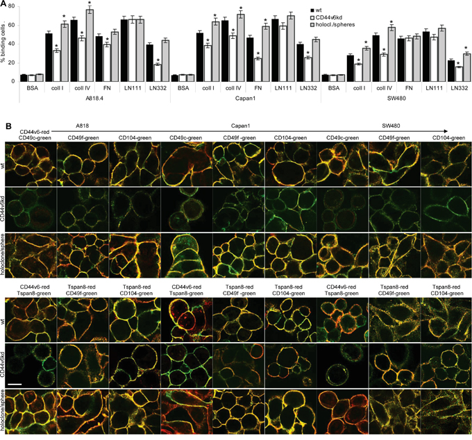CD44v6 and matrix protein adhesion.
