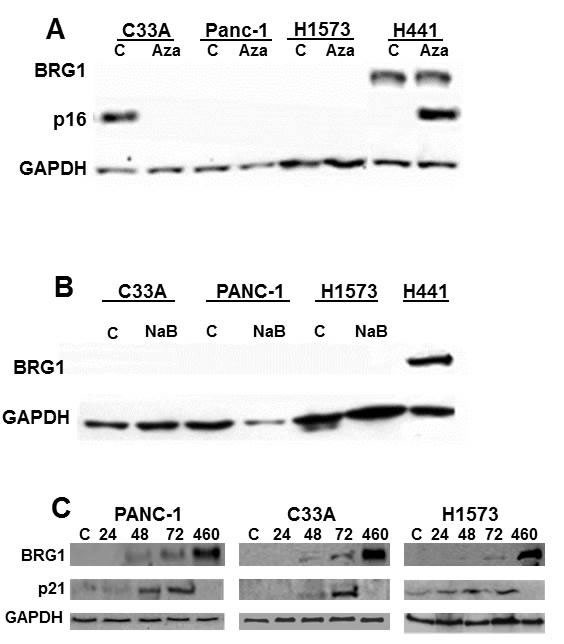 BRG1 is not Induced by Inhibitors of Epigenetic Mechanisms.