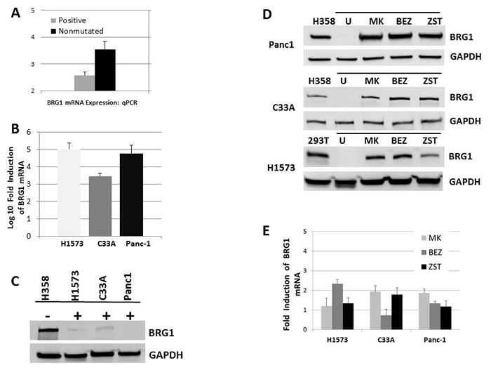 BRG1 is Silenced by the PI3K/AKT/mTOR Pathway at the Translational Level.