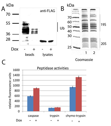 Doxorubicin treatment enhances the activity of proteasomes concomitant with a decrease in ubiquitylation.
