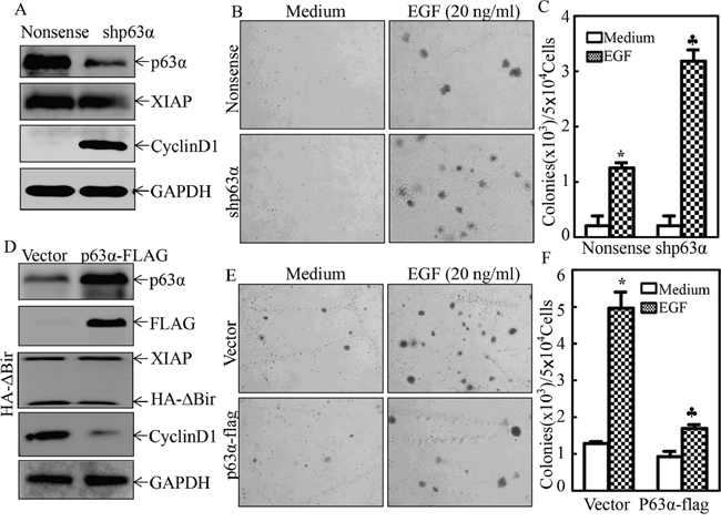 p63α inhibited EGF-induced malignant transformation of human bladder epithelial cells.