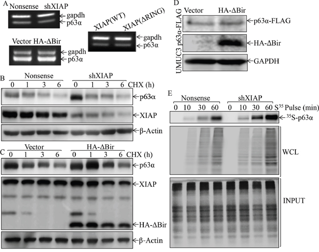 XIAP RING domain inhibited p63α protein translation in human bladder epithelial cells.