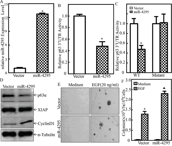 miR-4295 was able to directly bind to p63α 3'UTR resulting in blockage of p63α protein translation and subsequently promoting EGF-induced malignant transformation of human bladder epithelial cells.