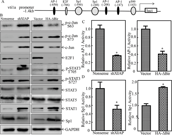 XIAP RING domain was crucial for Sp1 protein expression and transactivation in human bladder epithelial cells.