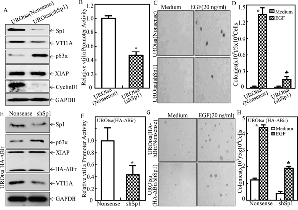 Sp1 was crucial for VTI1A transcription, p63α expression and EGF-induced malignant transformation of human bladder epithelial cells.