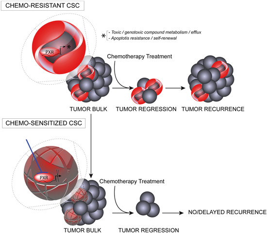 Schematic representation of putative PXR roles in CSC survival and tumor recurrence.