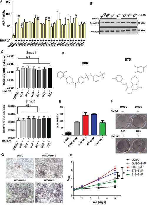 Candidate compounds B06 and B75 promotes the bone synthesis ability via activating BMP signaling.