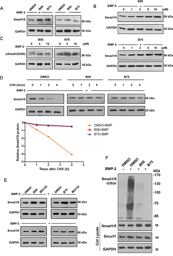 B06 and B75 inhibit Smurf1-mediated Smad1/5 ubiquitination and degradation.