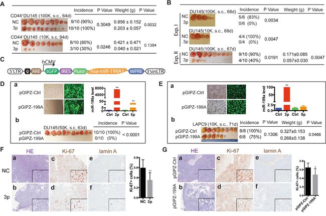 miR-199a-3p inhibits xenograft tumor regeneration.
