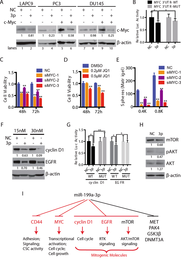 miR-199a-3p also targets c-MYC and several other mitogenic signaling molecules.