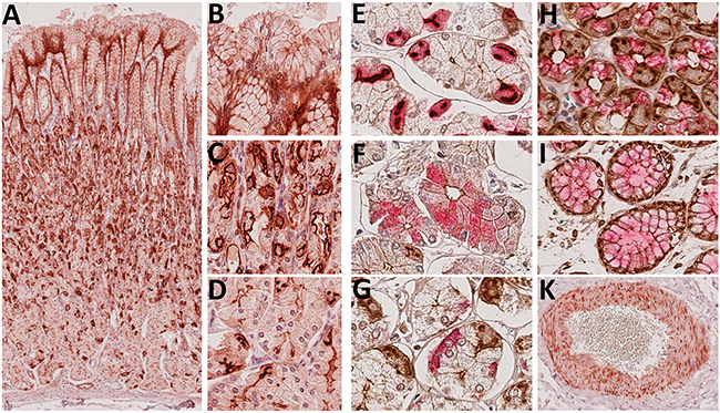 Immunohistochemical detection of Troy+ cells in the gastric corpus mucosa.