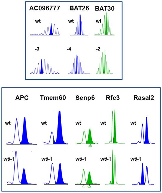 MSI analysis of MLH1-/- tumors.