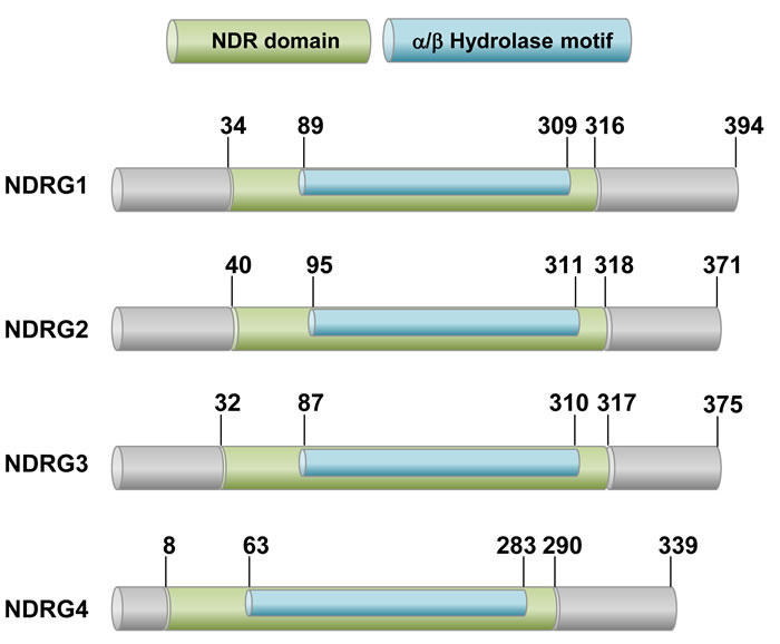 A schematic drawing of human NDRG proteins.