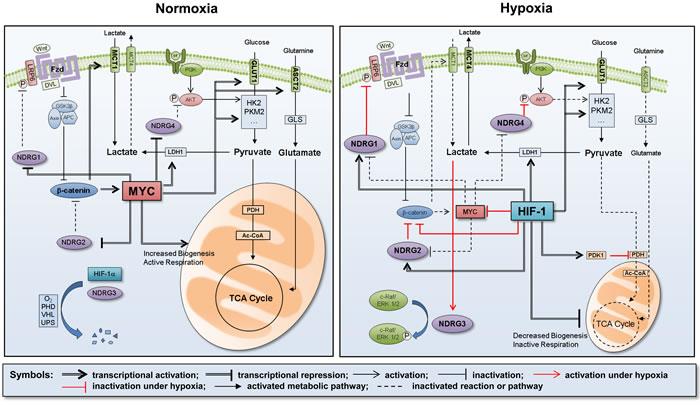 Summary of metabolic reprogramming under hypoxia.