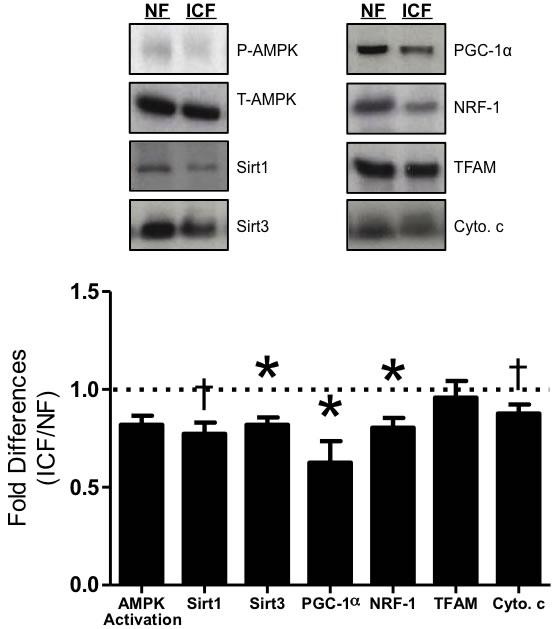 Mitochondrial biogenesis signaling.