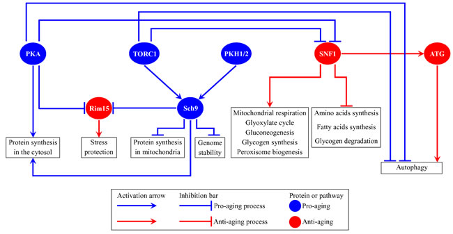 Several nutrient- and energy-sensing signaling pathways and protein kinases converge into a network which defines the rate of yeast chronological aging.
