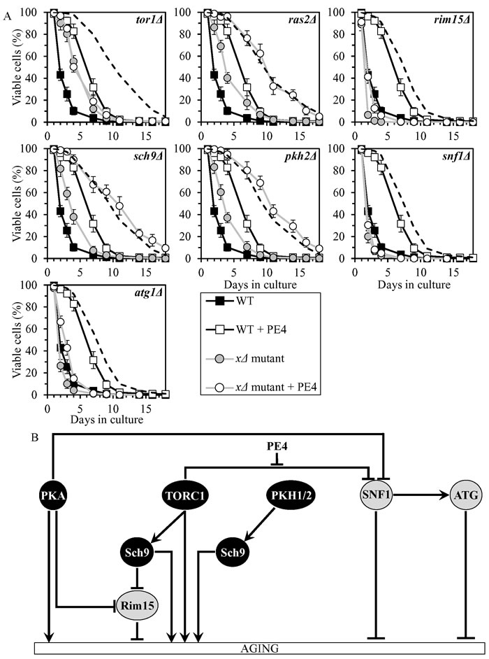 PE4 extends yeast CLS by weakening the restraining action of TORC1 on SNF1.