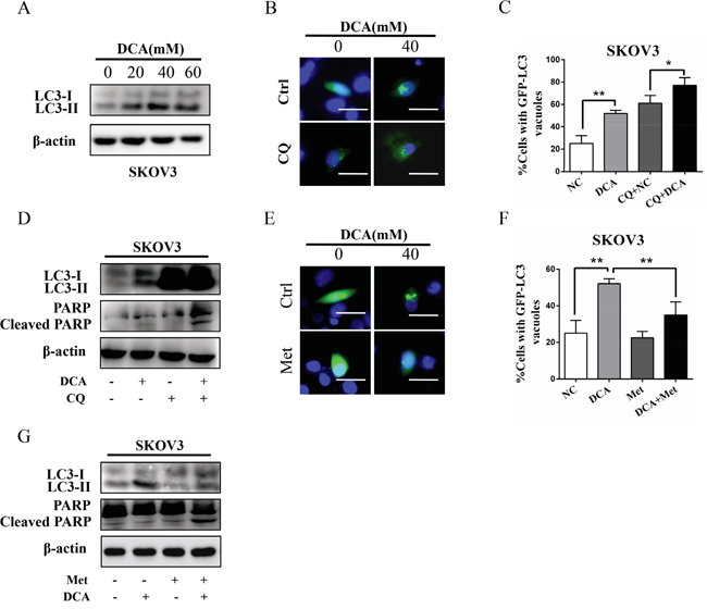 Met diminishes DCA-induced protective autophagy.