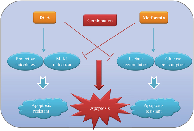 The working model for the synergistic sensitization of DCA and Met to each other in ovarian cancer cells.