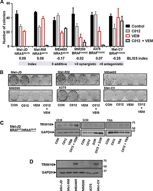 Combination of C012 and vemurafenib induces TRIM16 protein expression.