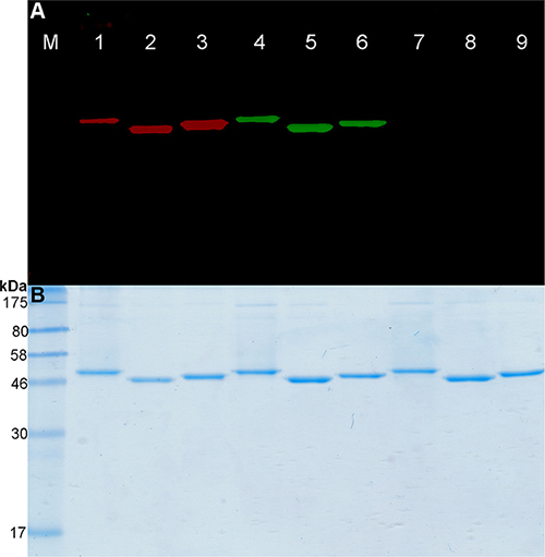 Fusion proteins labeling with BG-PEG24-IR700.
