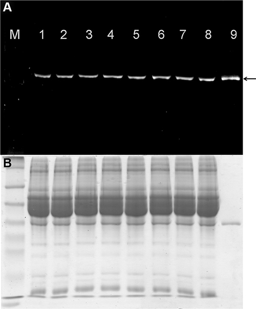 Stability of fluorescence-labeled scFv-425-SNAP protein in mouse serum.
