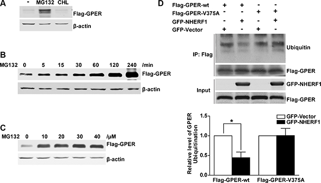 NHERF1 retards the ubiquitin–proteasome proteolysis of GPER protein.