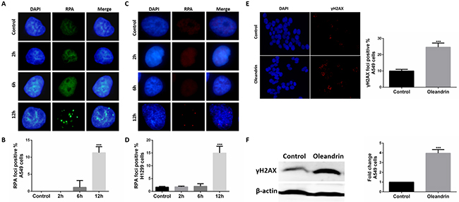 Oleandrin induced RPA and gH2AX foci in lung cancer cells.