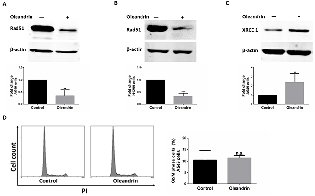 Expression of DNA damage repair proteins in cancer cell lines following treatment with oleandrin.