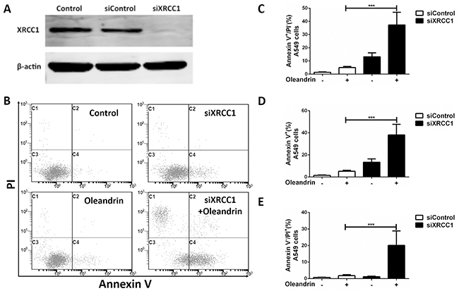 Loss of XRCC1 sensitized A549 cells to oleandrin-induced cell death.