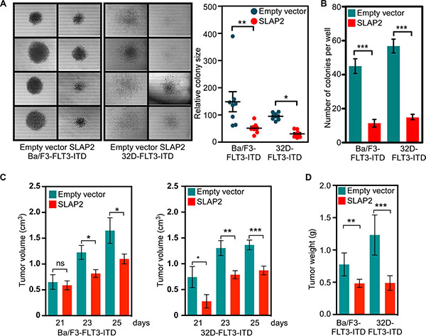 SLAP2 expression reduces FLT3-induced colony formation and tumor formation.