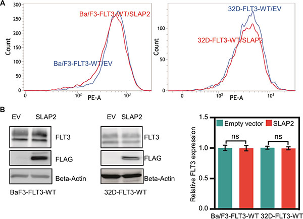 Ba/F3 and 32D cell lines expressing wild-type FLT3 and SLAP2.