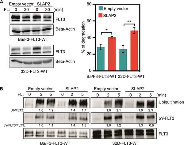 SLAP2 expression accelerated FLT3 degradation through enhanced ubiquitination.