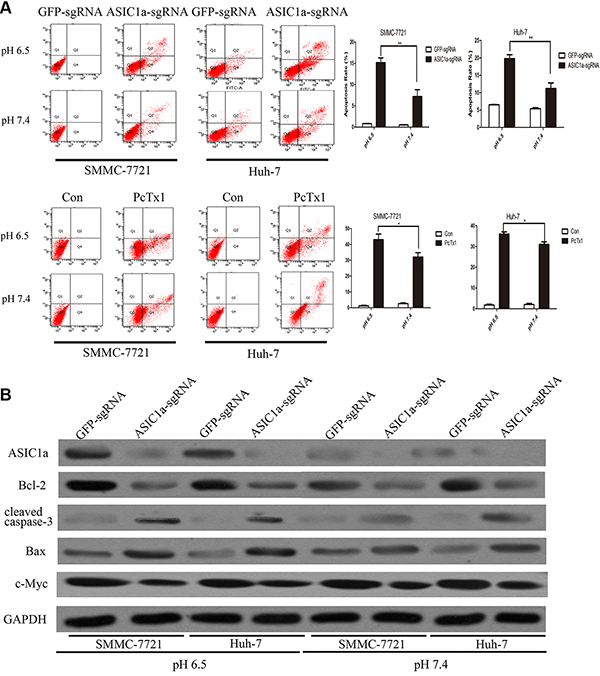Knockout of ASIC1a induced liver cancer cell apoptosis.