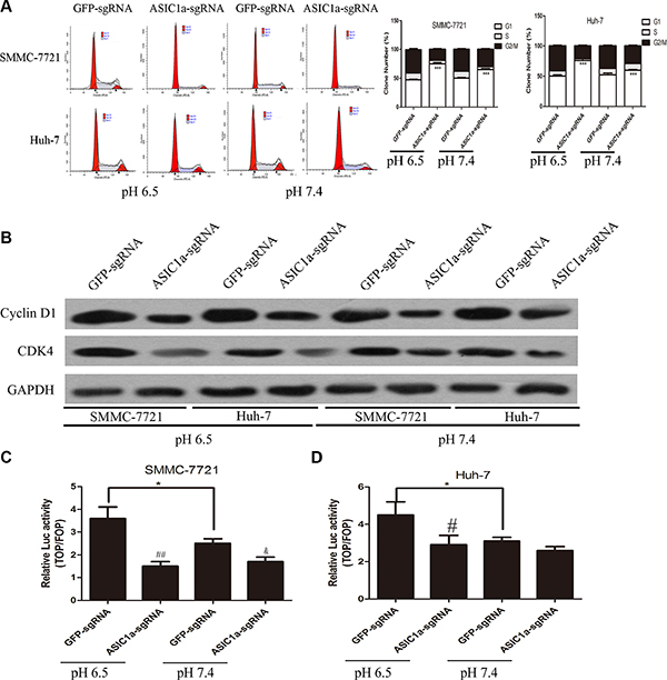 Knockout of ASIC1a induced liver cancer cell cycle arrest through LEF-TCF activity inhibition.
