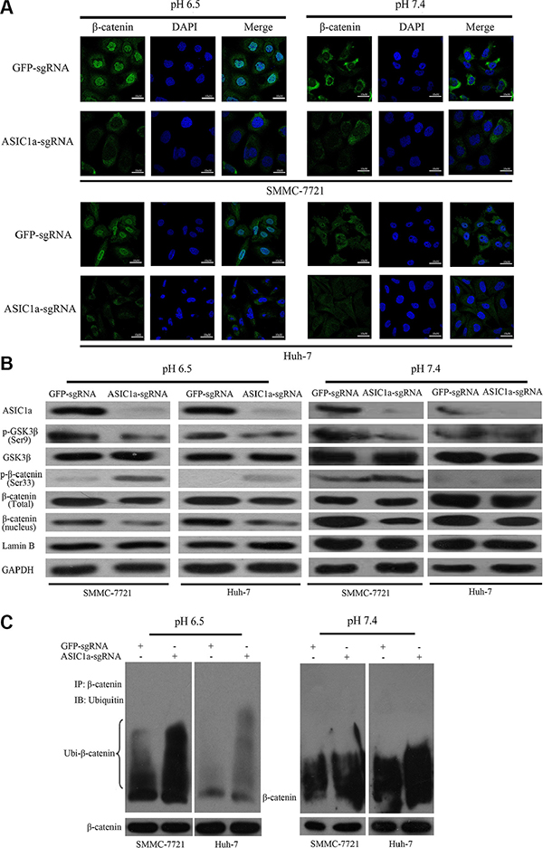 ASIC1a knockout suppressed activation of β-catenin/LEF-TCF axis.